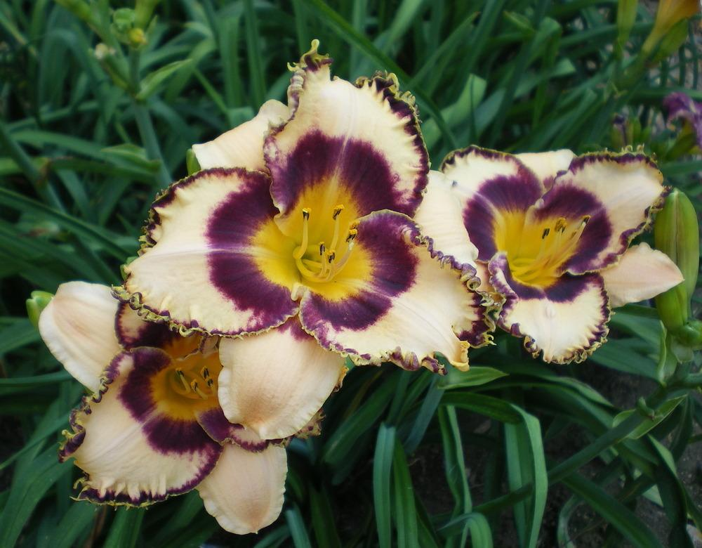Photo of Daylily (Hemerocallis 'Coach's Pride') uploaded by janicewood549
