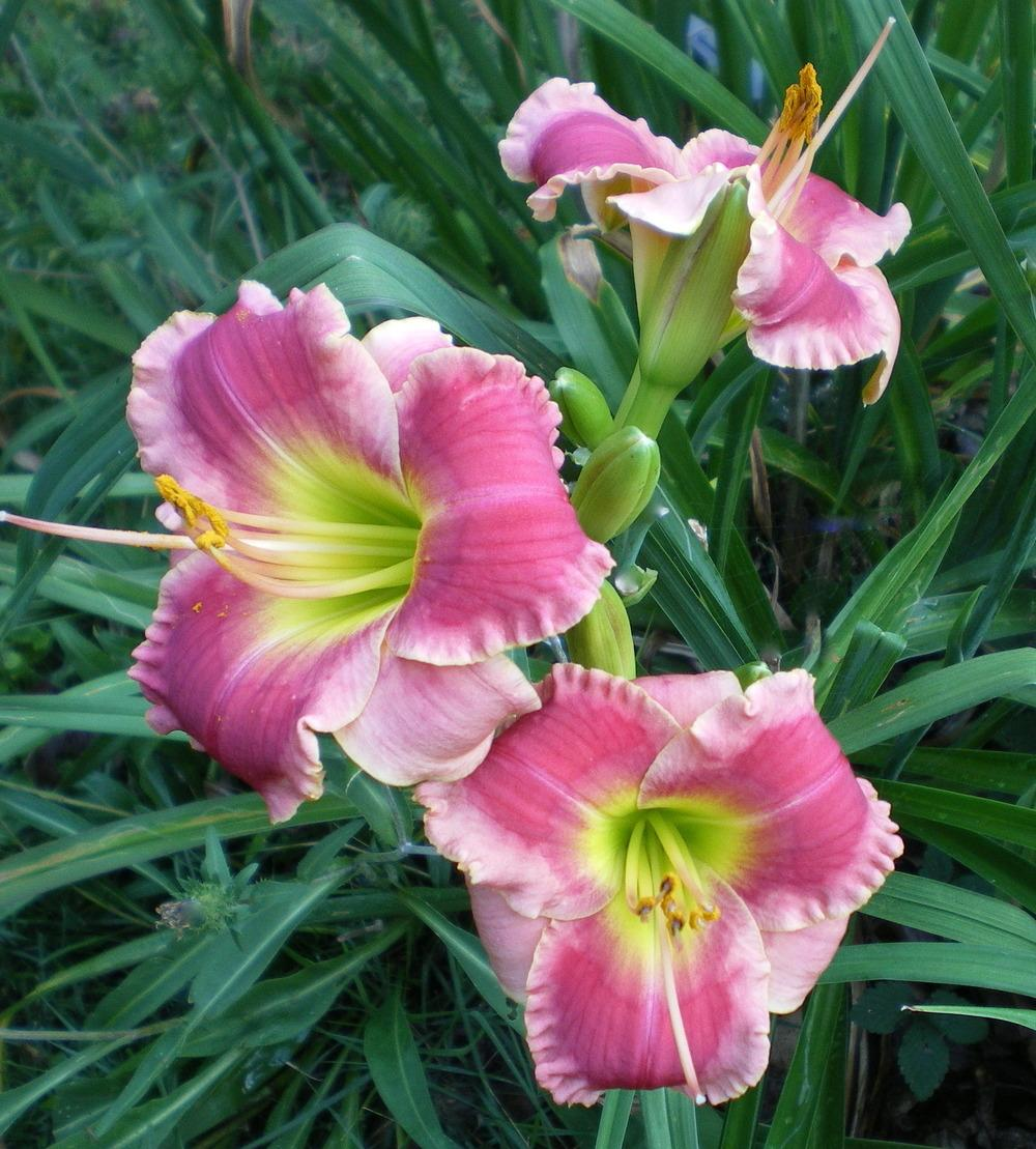 Photo of Daylily (Hemerocallis 'Chaotic Symmetry') uploaded by janicewood549