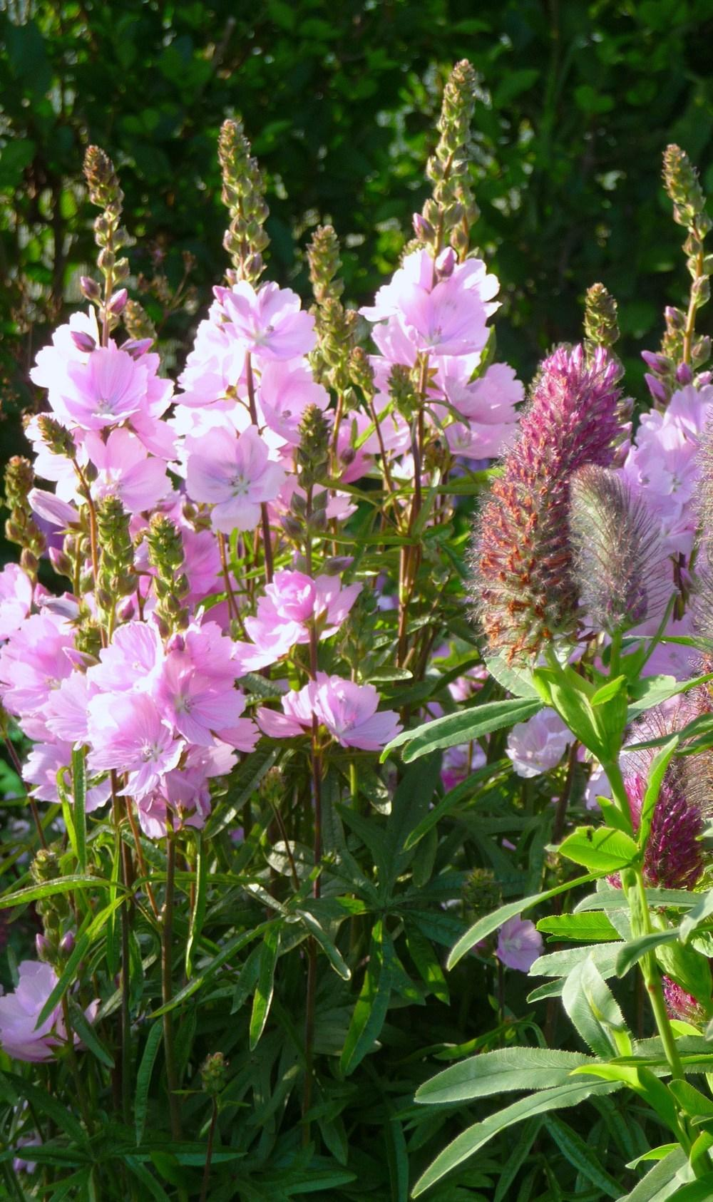 Photo of Checker Mallow (Sidalcea malviflora 'Elsie Heugh') uploaded by Thalictrum