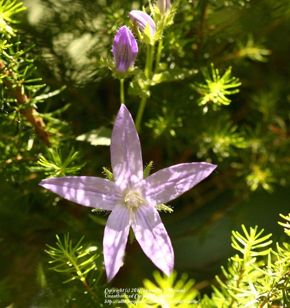 Photo of Serbian Bellflower (Campanula poscharskyana 'Lilacina') uploaded by bonitin