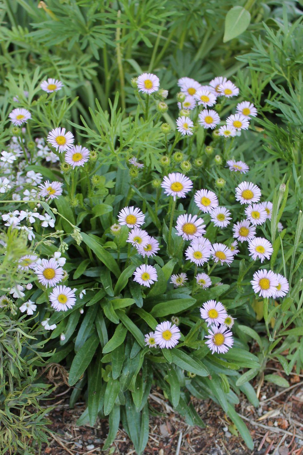 Photo of Erigeron glacialis uploaded by growitall