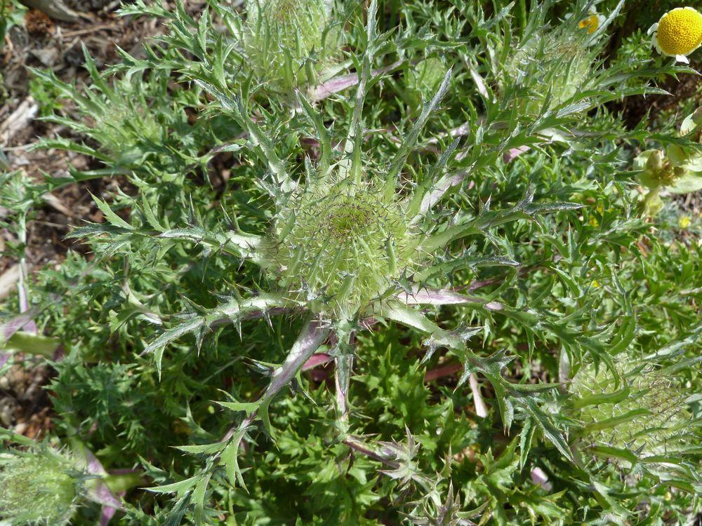 Photo of Carline Thistle (Carlina acaulis) uploaded by growitall