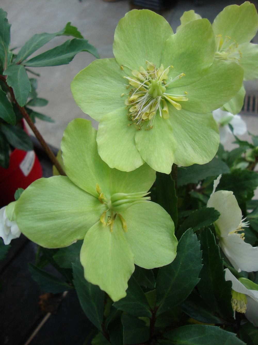 Photo of Hellebore (Helleborus niger Gold Collection® Jacob) uploaded by Paul2032