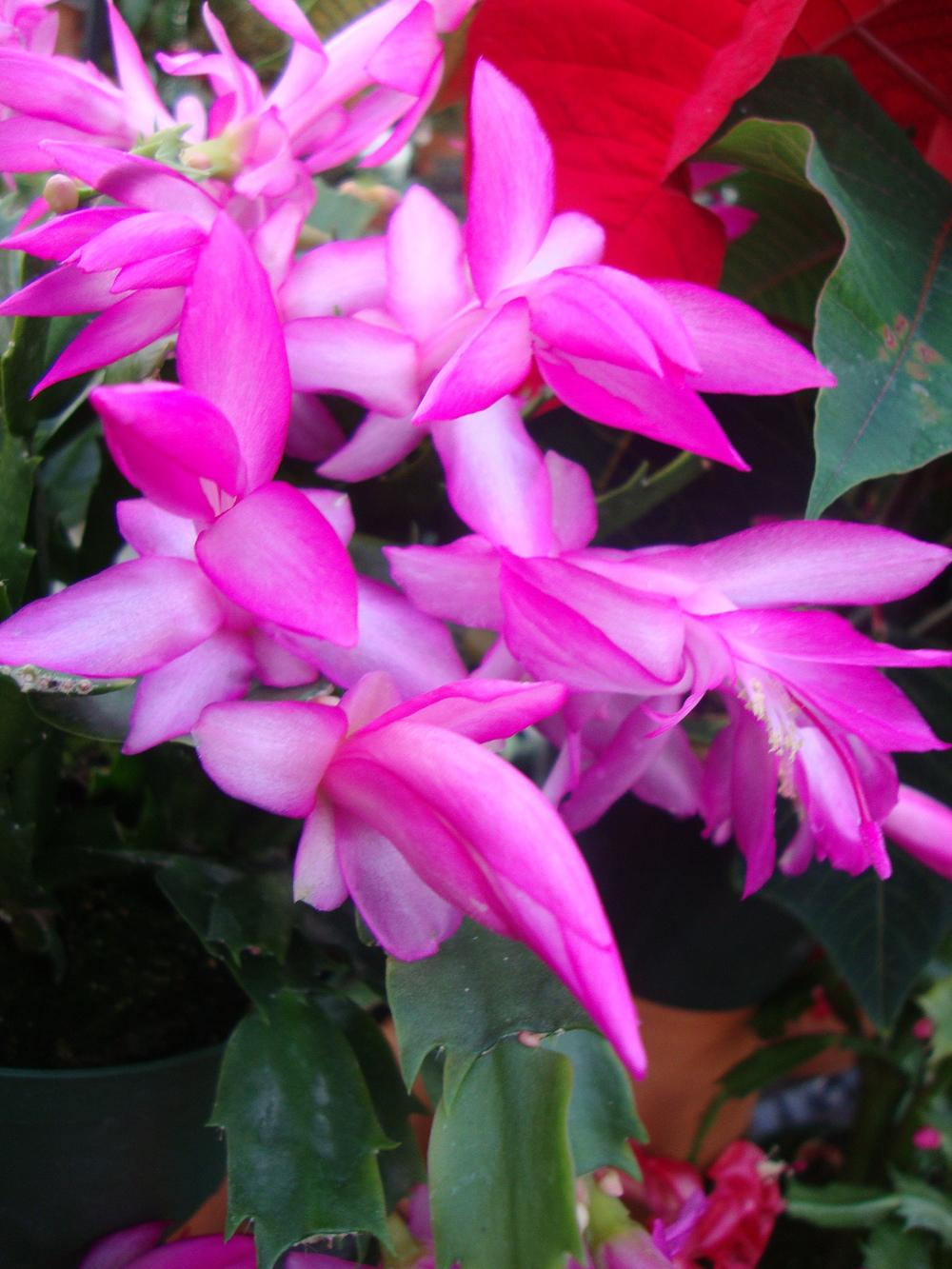 Photo of Christmas Cactus (Schlumbergera truncata) uploaded by Paul2032