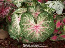Thumb of 2012-12-08/caladiums4less/7b6323