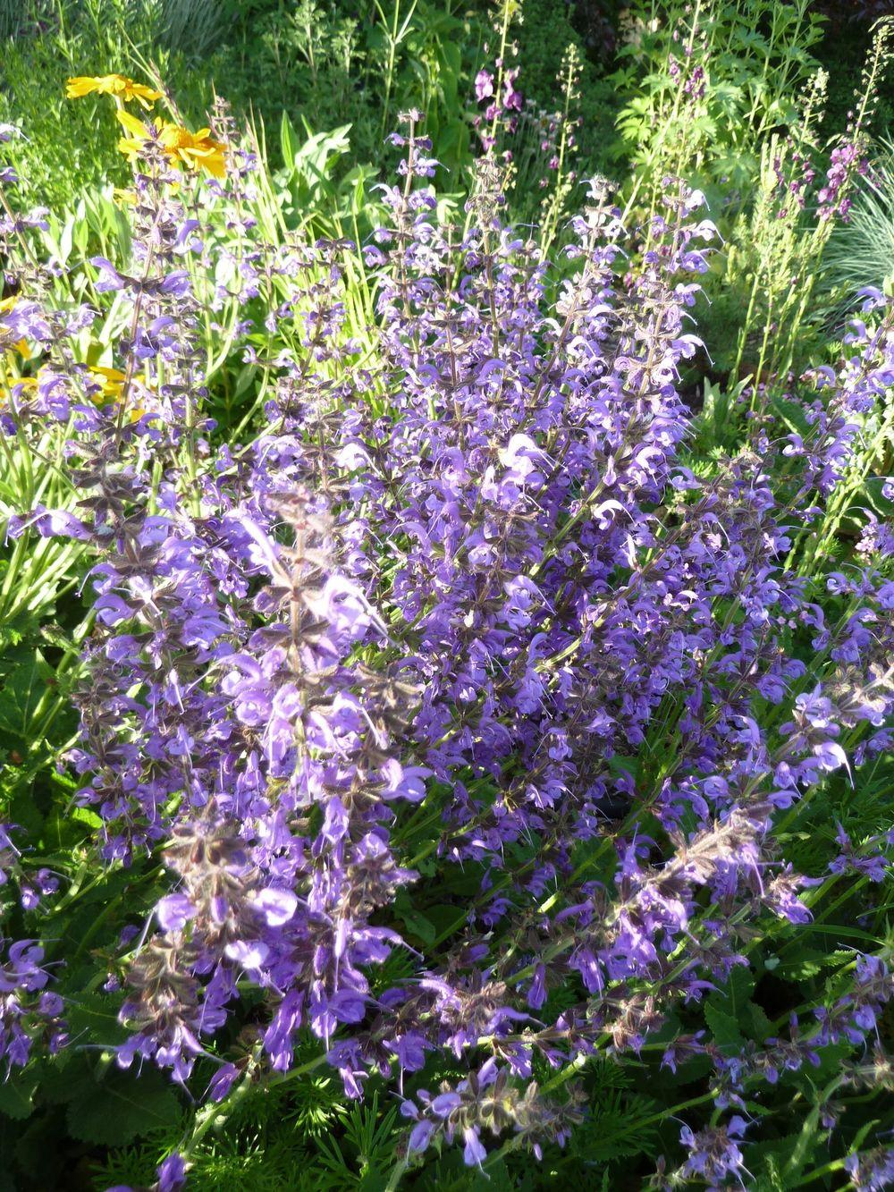 Photo of Meadow Sage (Salvia pratensis) uploaded by growitall