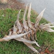 Location: Southwest FloridaDate: December 2012the dried up bloom, containing the seedpods