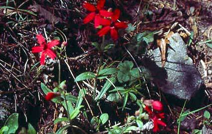 Photo of Fire Pink (Silene virginica) uploaded by SongofJoy