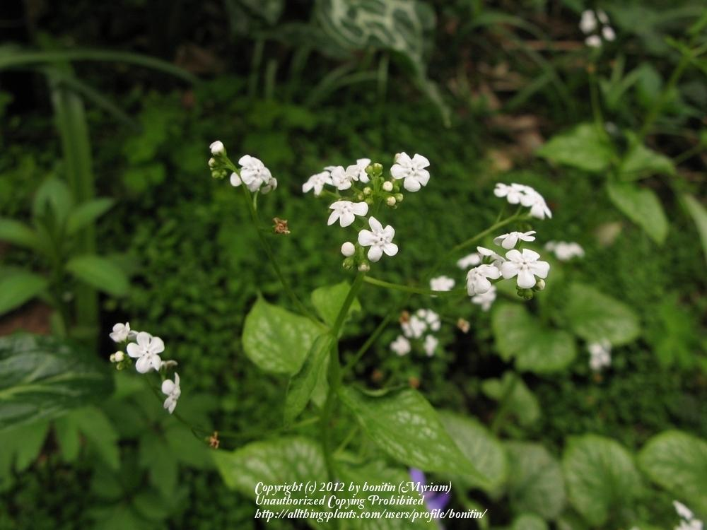 Photo of Siberian Bugloss (Brunnera macrophylla 'Mr. Morse') uploaded by bonitin