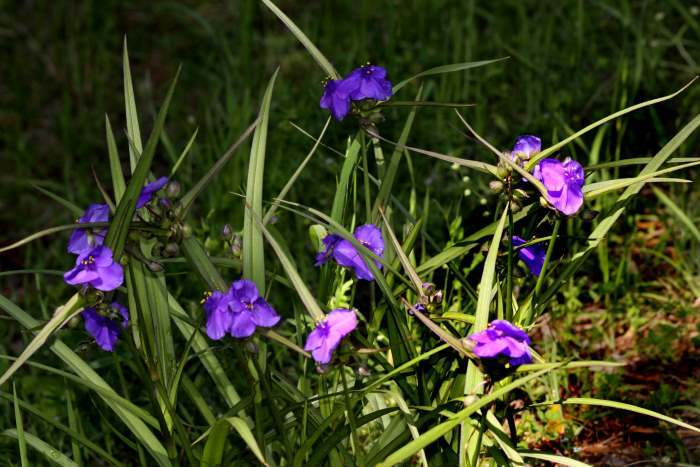 Photo of Spiderwort (Tradescantia ohiensis) uploaded by flaflwrgrl