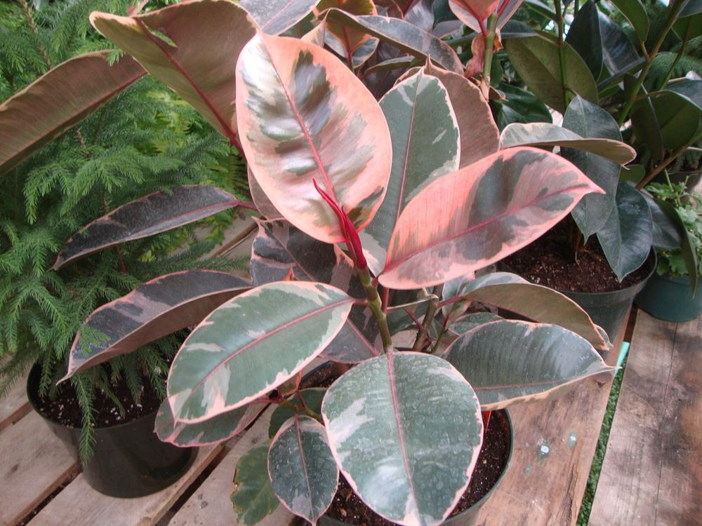 Photo of Ficus elastica 'Ruby' uploaded by Paul2032
