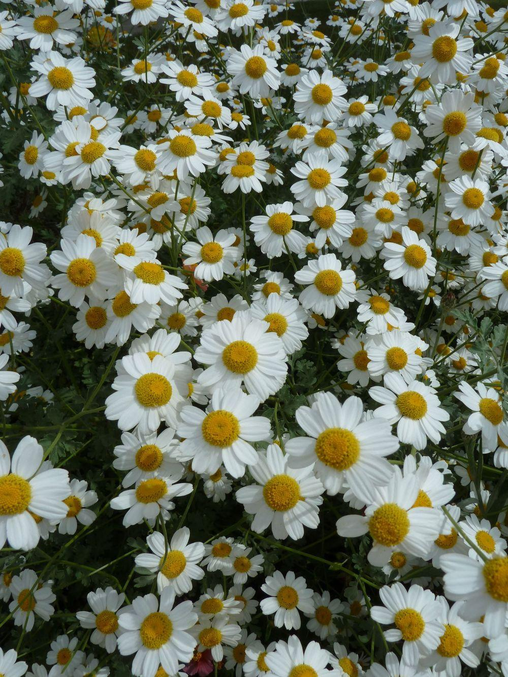 Photo of Tanacetum niveum 'Jackpot' uploaded by growitall