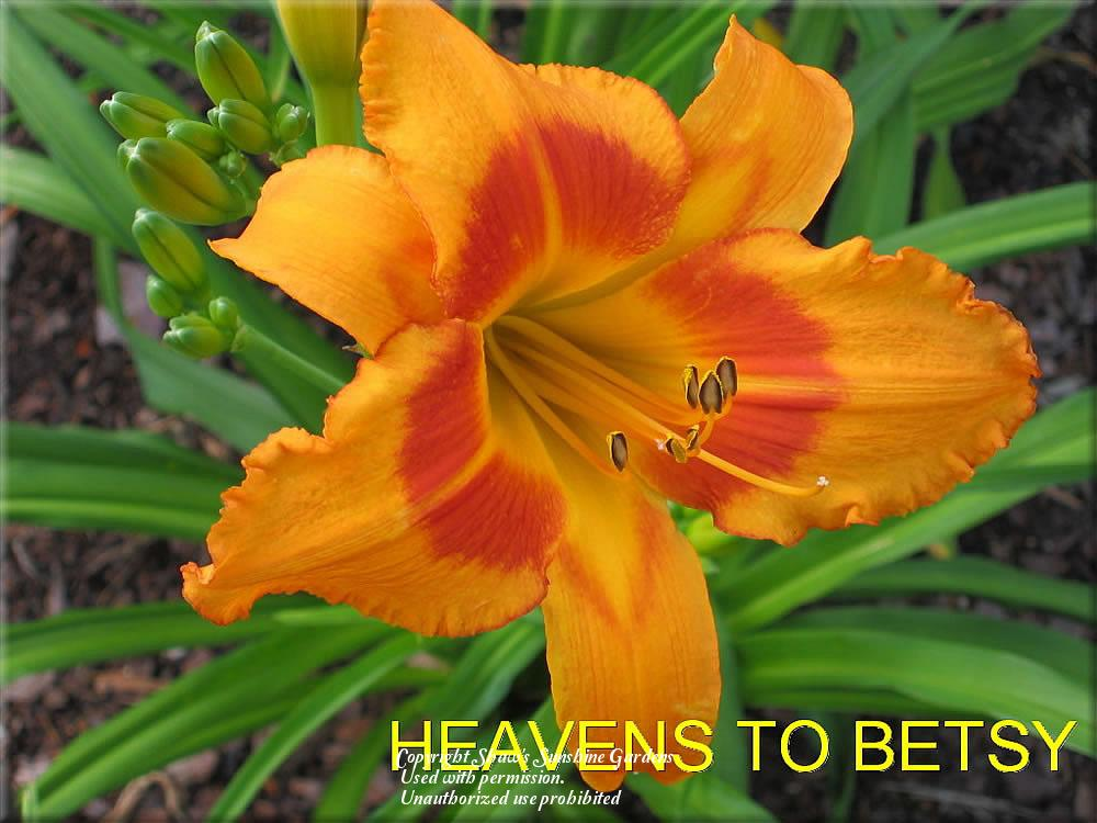 Photo of Daylily (Hemerocallis 'Heavens to Betsy') uploaded by vic