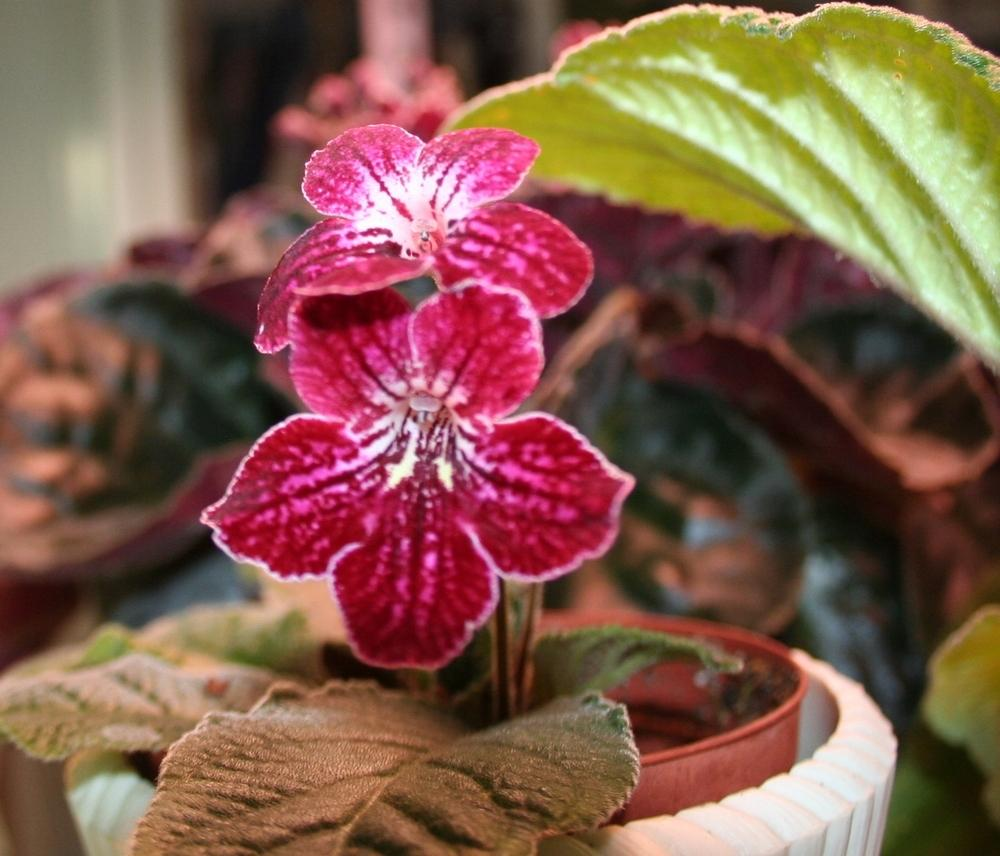 Photo of Cape Primrose (Streptocarpus 'Ravishing Ruby') uploaded by 4susiesjoy