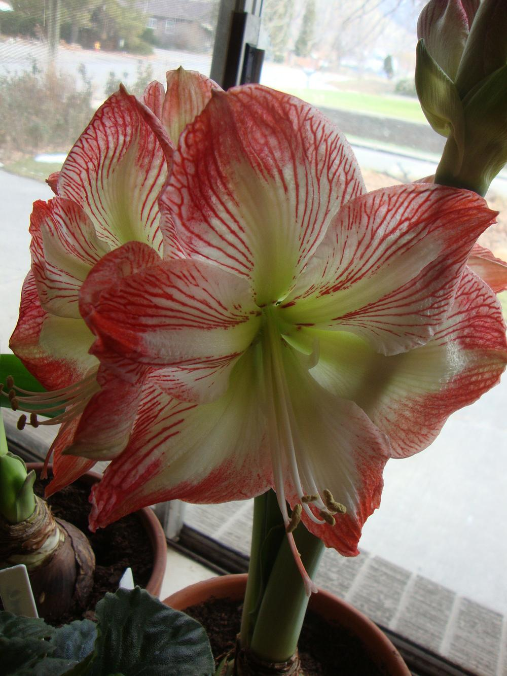 Photo of Amaryllis (Hippeastrum 'Cinderella') uploaded by Paul2032