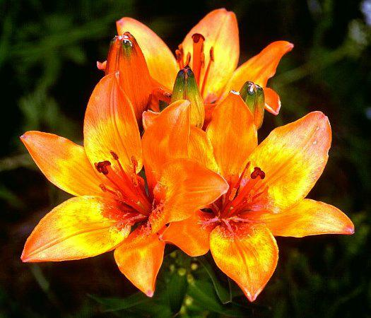 Photo of Lily (Lilium bulbiferum) uploaded by SongofJoy