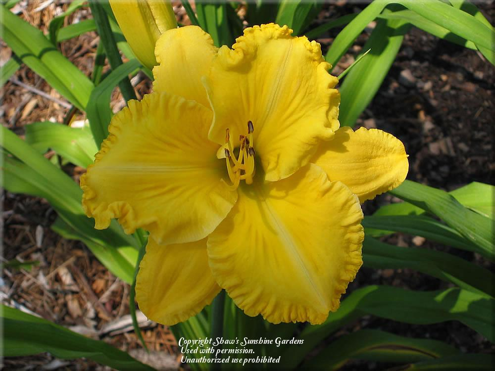 Photo of Daylily (Hemerocallis 'Joint Venture') uploaded by vic
