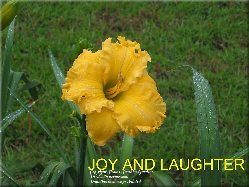 Photo of Daylily (Hemerocallis 'Joy and Laughter') uploaded by vic