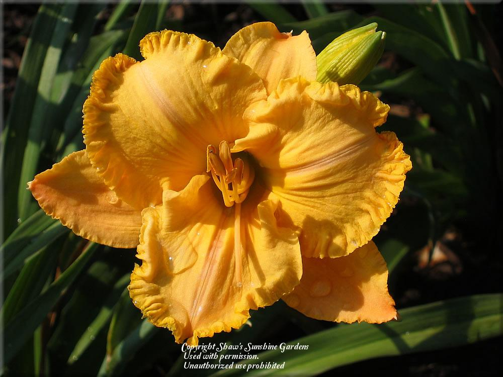 Photo of Daylily (Hemerocallis 'Julian Carter') uploaded by vic