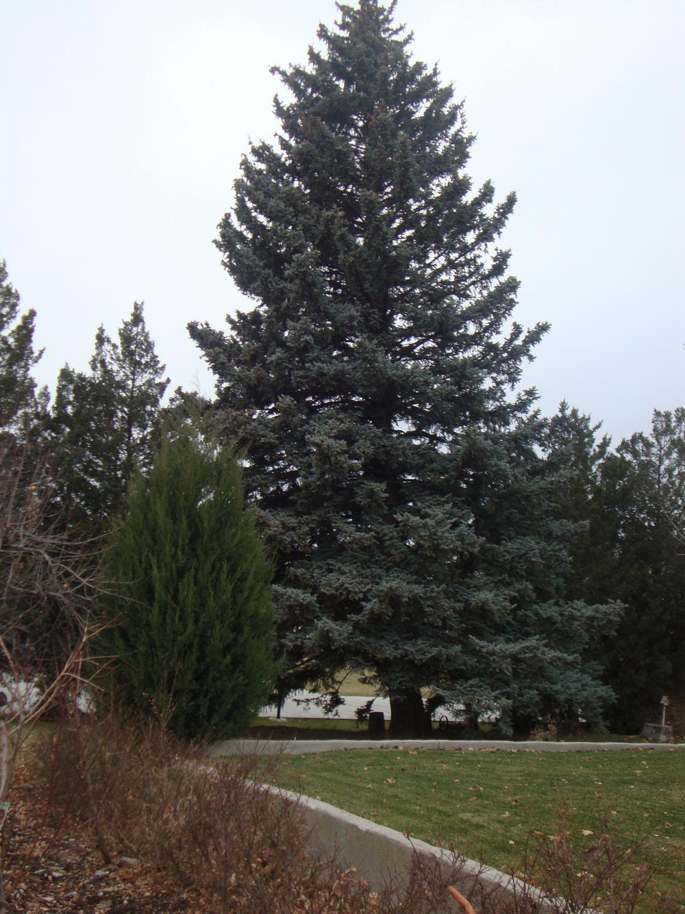 Photo of Colorado Blue Spruce (Picea pungens) uploaded by Paul2032