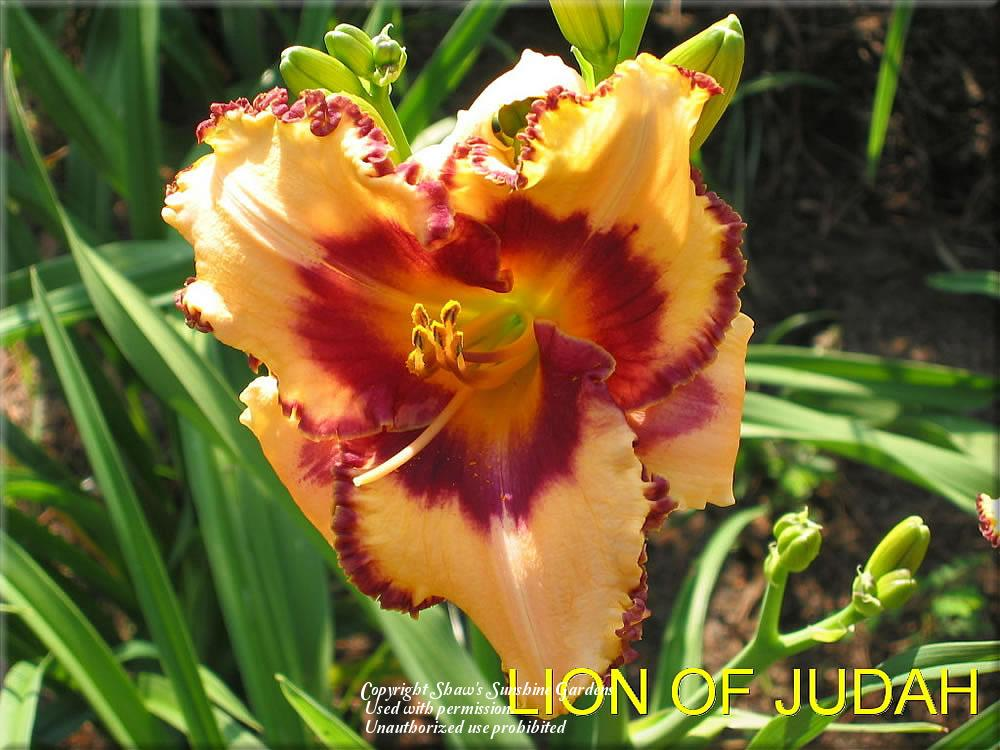 Photo of Daylily (Hemerocallis 'Lion of Judah') uploaded by vic
