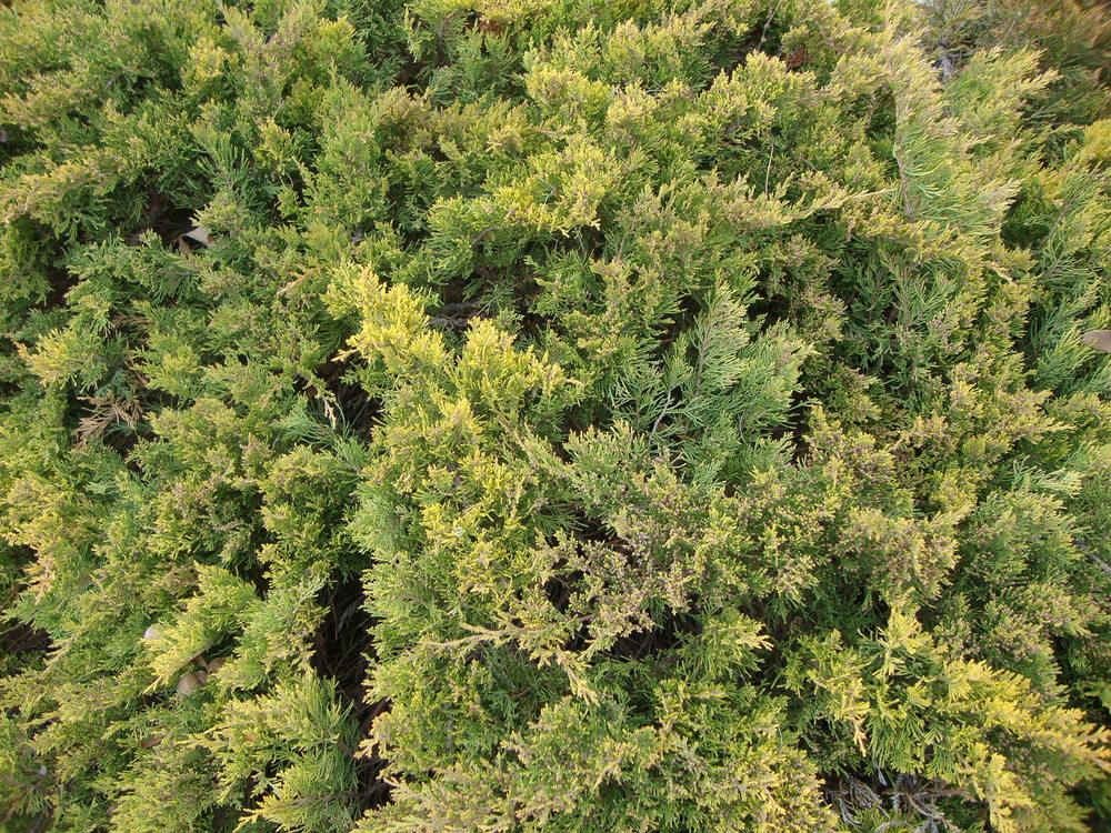 Photo of Creeping Juniper (Juniperus horizontalis) uploaded by Paul2032