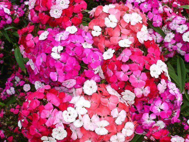 Photo of Dianthus (Dianthus barbatus 'Noverna Clown') uploaded by SongofJoy