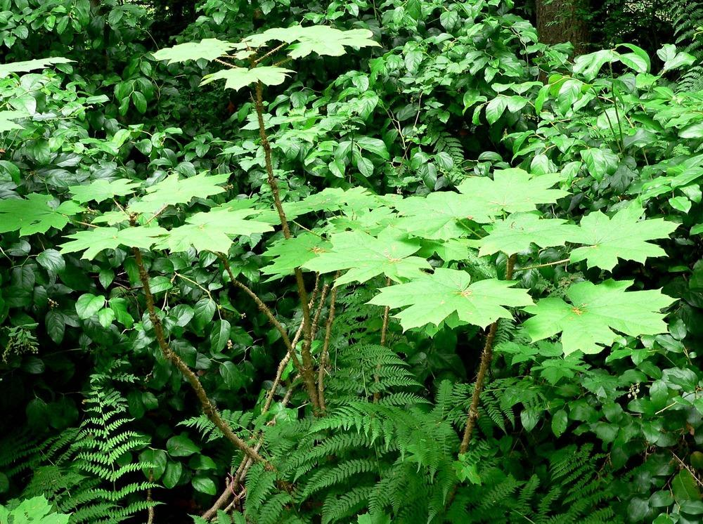 Photo of Devil's Club (Oplopanax horridus) uploaded by a2b1c3