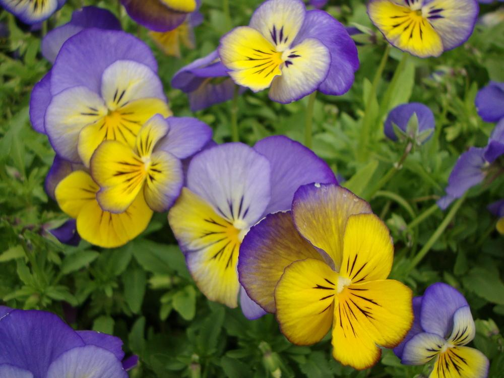 Photo of Violas (Viola) uploaded by Paul2032
