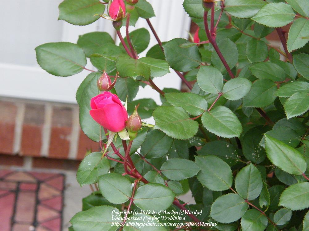 Photo of Rose (Rosa 'Double Knock Out') uploaded by Marilyn