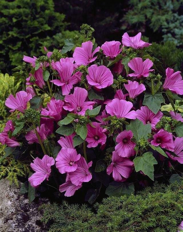 Photo of Annual Mallow (Malva trimestris 'Novella') uploaded by SongofJoy