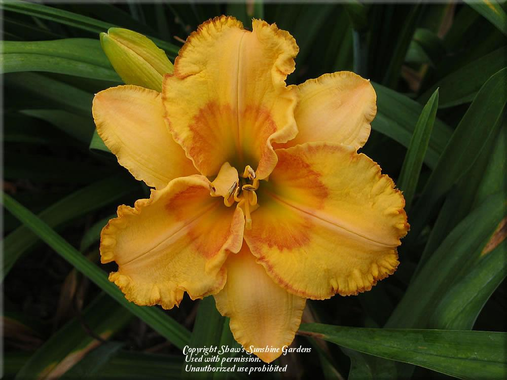 Photo of Daylily (Hemerocallis 'Prairie Fire') uploaded by vic