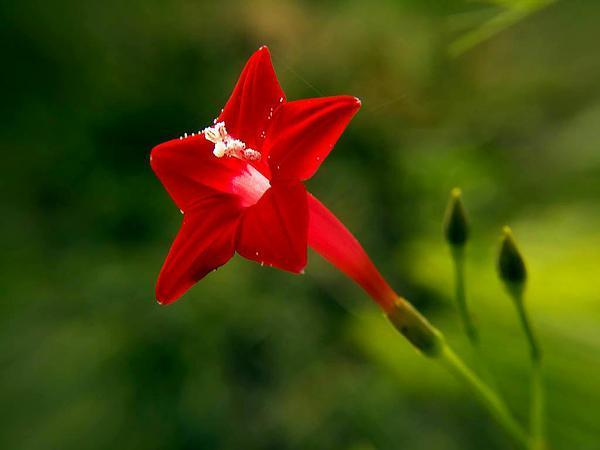 Photo of Cypress Vine (Ipomoea quamoclit) uploaded by SongofJoy