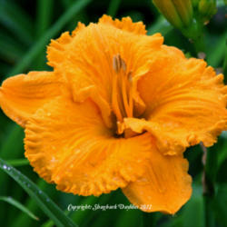 Thumb of 2012-12-25/daylily/33ee2e