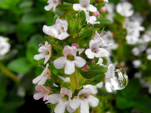 Photo of Thyme (Thymus praecox) uploaded by SongofJoy