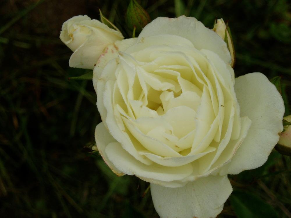 Photo of Rose (Rosa 'Spanish Sun') uploaded by Bonehead