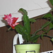 Location: ,Front Royal,VaDate: 2012-11-08This is plant i have for trade or sale