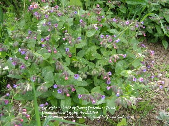 Photo of Soldiers and Sailors (Pulmonaria officinalis) uploaded by JonnaSudenius