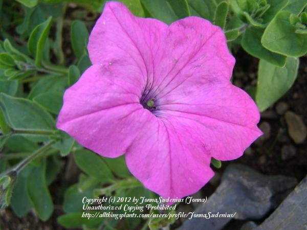 Photo of Violet-flowered Petunia (Petunia integrifolia) uploaded by JonnaSudenius