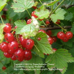 Red Currants. These Old-Time Shrub Fruits Are Easy To Grow