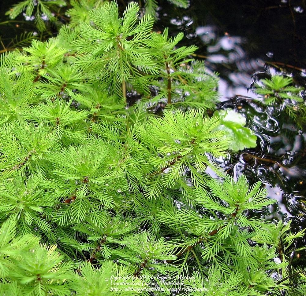 Photo of Myriophyllum aquaticum 'Red Stem' uploaded by bonitin