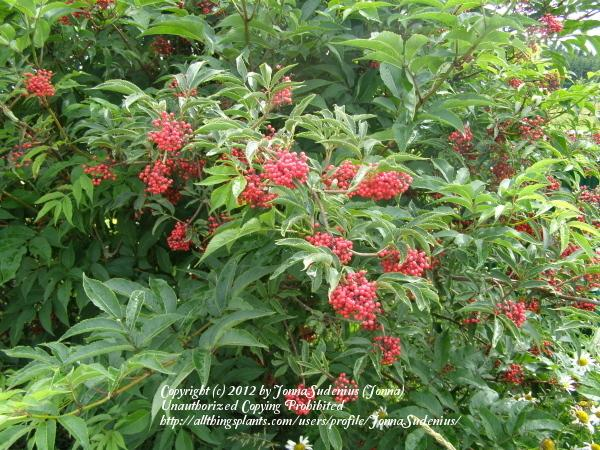Photo of Red Elderberry (Sambucus racemosa) uploaded by JonnaSudenius