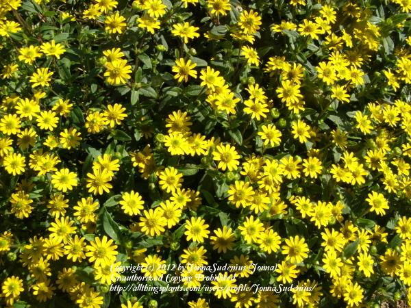 Photo of Creeping Zinnia (Sanvitalia procumbens) uploaded by JonnaSudenius
