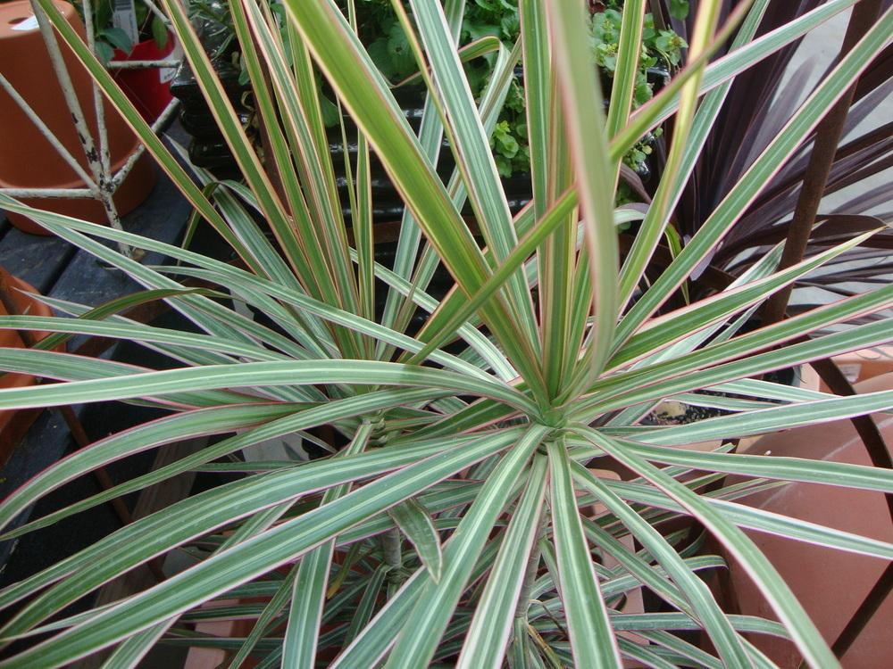 Photo of Dragon Tree (Dracaena marginata 'Tricolor') uploaded by Paul2032