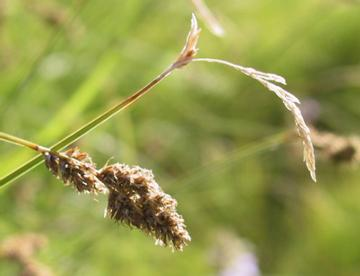 Photo of Tussock Sedge (Carex stricta) uploaded by SongofJoy