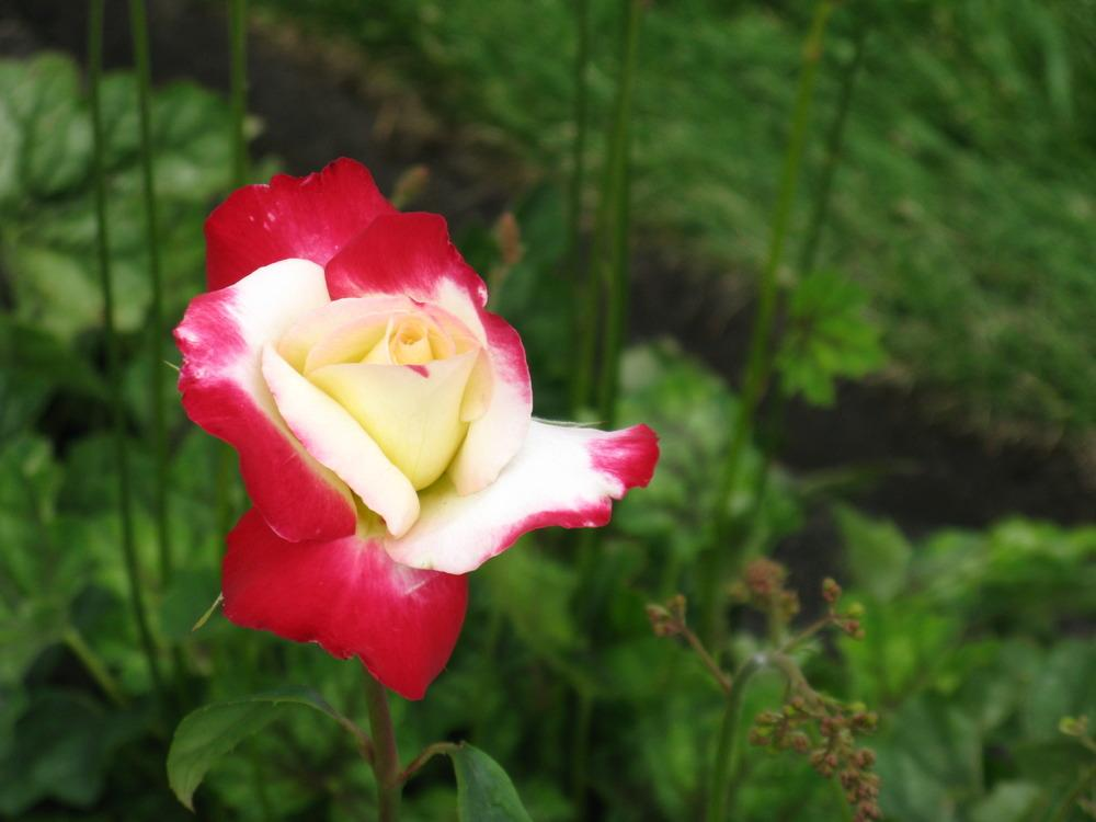 Photo of Rose (Rosa 'Double Delight') uploaded by foxglove