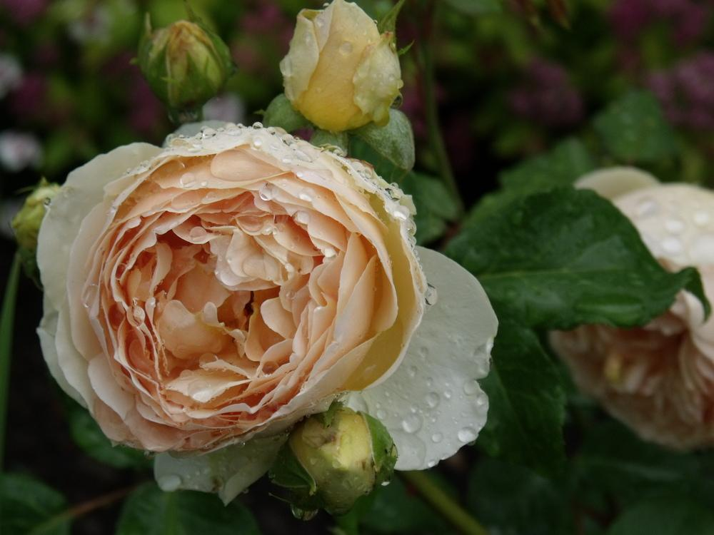 Photo of Rose (Rosa 'Jude the Obscure') uploaded by foxglove