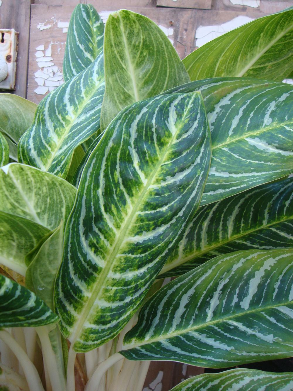 Photo of Chinese Evergreen (Aglaonema Key Lime™) uploaded by Paul2032