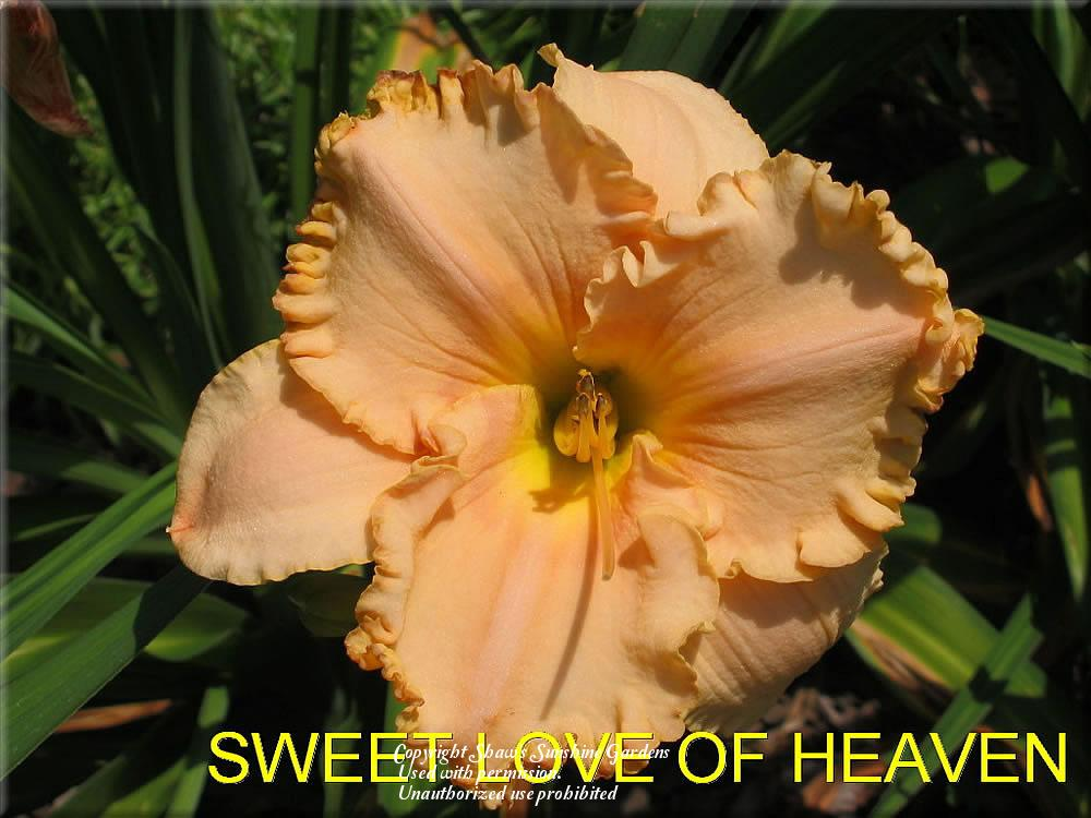 Photo of Daylily (Hemerocallis 'Sweet Love of Heaven') uploaded by vic