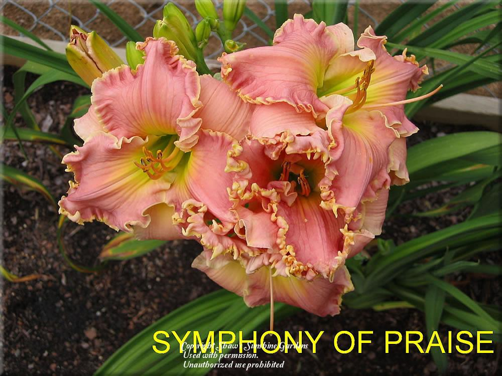 Photo of Daylily (Hemerocallis 'Symphony of Praise') uploaded by vic